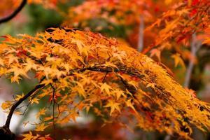 albero di acero rosso giapponese foto