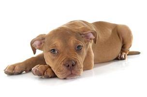 cucciolo vecchio bulldog inglese foto