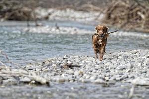 cucciolo di cane cocker spaniel