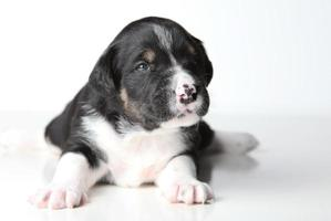 cucciolo in bianco e nero foto