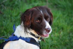simpatico cane da caccia di tipo inglese springer spanie bianco e fegato