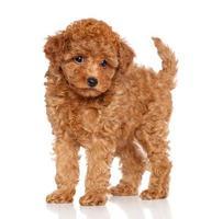 cucciolo barboncino su uno sfondo bianco foto