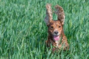 Happy dog cocker spaniel inglese mentre corri da te foto