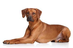 rhodesian ridgeback cane di razza foto