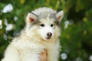 malamute bianco. cucciolo. Due mesi foto