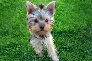 cucciolo di yorkshire terrier in erba foto