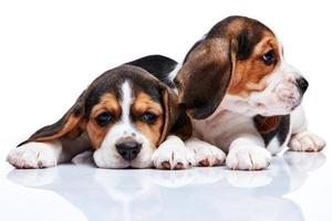 cuccioli di beagle su sfondo bianco