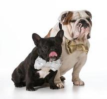 bulldog inglese e francese
