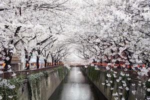 tunnel di fiori di ciliegio