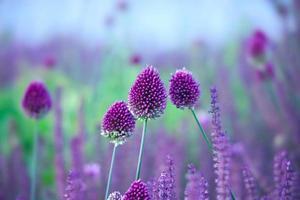 erba cipollina fiori di erba - allium sphaerocephalon sul bellissimo sfondo.
