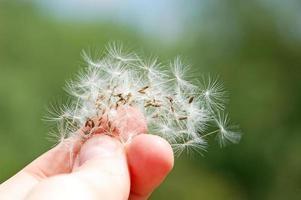 seme di tarassaco in mano
