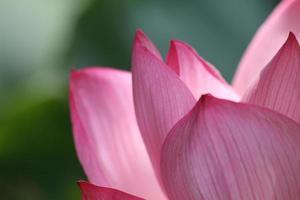 fiori di loto nel giardino sankei della città di yokohama