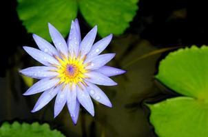 fiore di loto blu sullo stagno