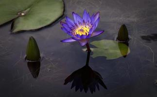 loto viola