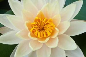 primo piano fiore di loto giallo bellissimo loto.