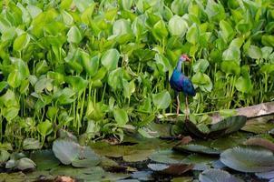 uccello colorato che cammina sulla foglia di loto foto