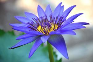 il fiore di loto viola al mattino.
