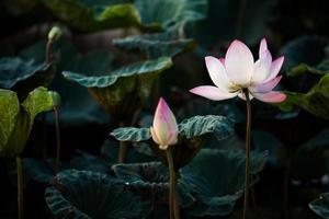 bellissimo fiore di loto
