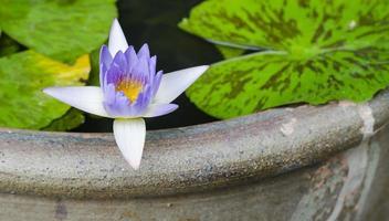 colore viola del fiore di loto foto