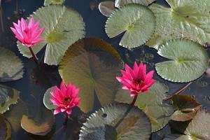 """loto rosa nella palude di loto nella provincia """"talay-noi"""" di pattalung, thaialnd"""