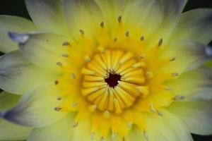 fiore di polline giallo loto giallo con foglia verde