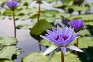 bellissimo fiore di loto viola in una piscina