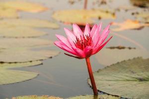 loto rosso nello stagno a kumphawapi, udonthani, thailandia