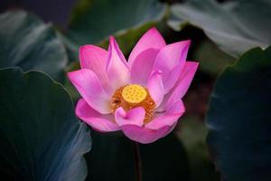 bellissimo fiore di loto (hoa sen) in fiore
