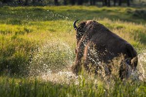 bufalo che carica attraverso un ruscello foto