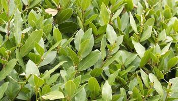 siepe di cespuglio di alloro che cresce in un giardino primaverile