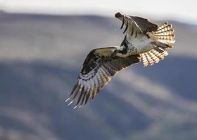 uccello bianco e nero in volo foto