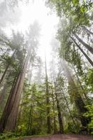 alti alberi di sequoia