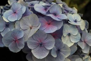 fiori di ortensie blu foto