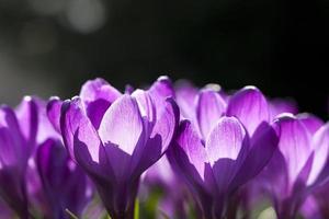 croco fiorisce in primavera foto