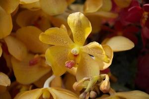 bellissimi fiori di orchidea gialla foto