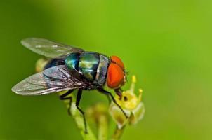 mosca da giardino foto