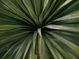 sunburstcactus