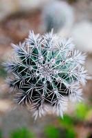 cactus foto