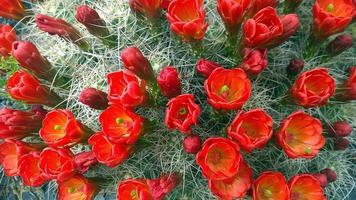 cactus in fiore foto