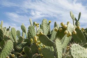 frutti di cactus foto