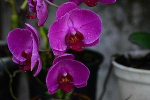 rosa orquidea foto