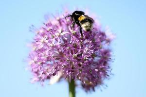 calabrone seduto sul fiore foto
