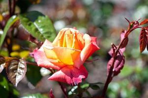 rosa in giardino foto