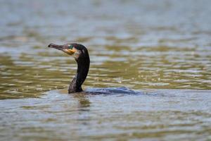 cormorano sul lago