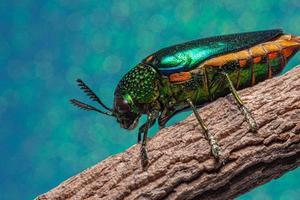 insetto buprestidae su sfondo blu