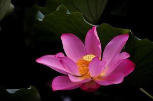 fiore rosa con centro giallo