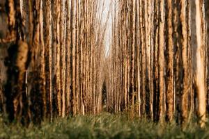 prospettiva ad angolo basso di filari di alberi
