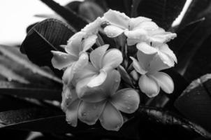 immagine in bianco e nero dei fiori di plumeria