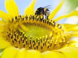 calabrone che raccoglie polline dal girasole foto
