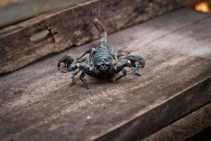 emporer scorpion (pandinus imperator) foto